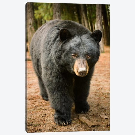 Black Bear Portrait During A Mild Winter, Oregon Canvas Print #DRM4} by Michael Durham Canvas Art