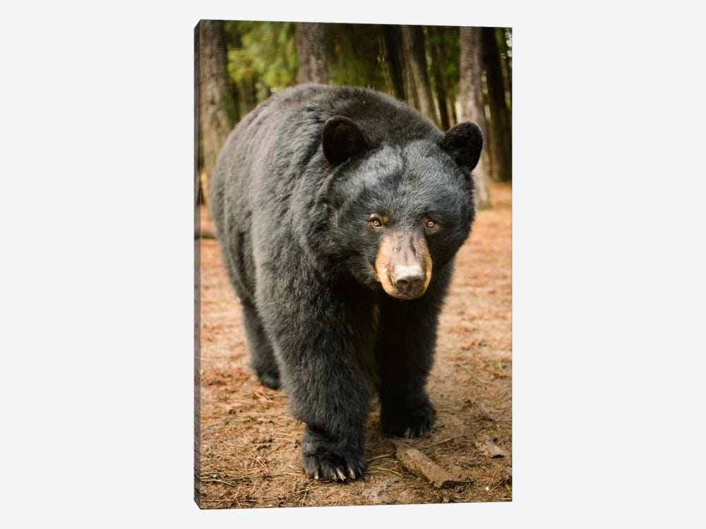 Black Bear Portrait During A Mild Winter, Oregon by Michael Durham 1-piece Canvas Art