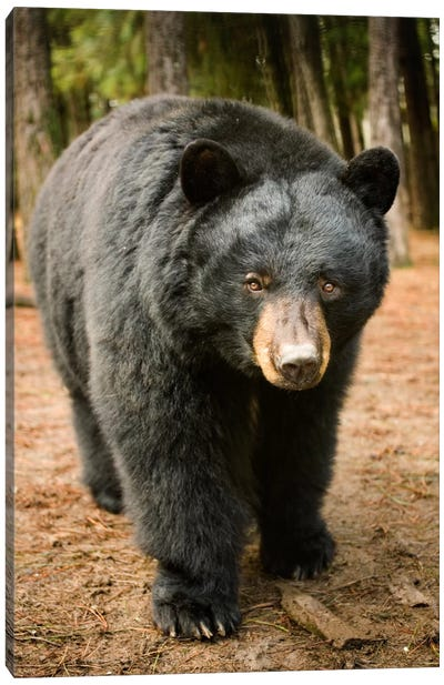 Black Bear Portrait During A Mild Winter, Oregon Canvas Art Print
