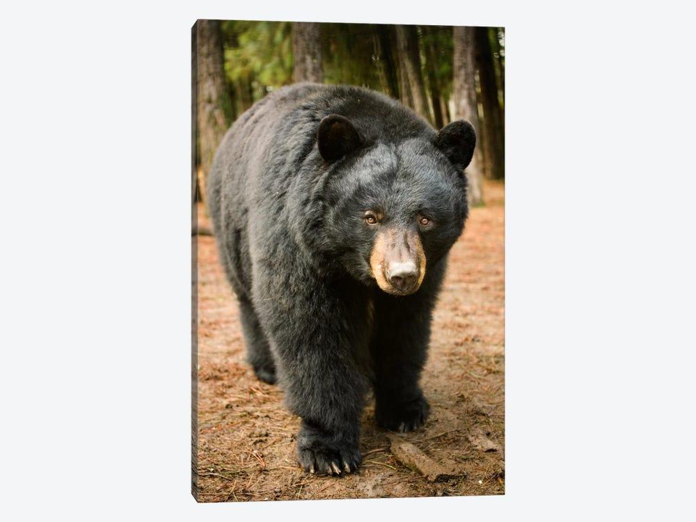 Black Bear Portrait During A Mild Winter, Oregon by Michael Durham 1-piece Canvas Art