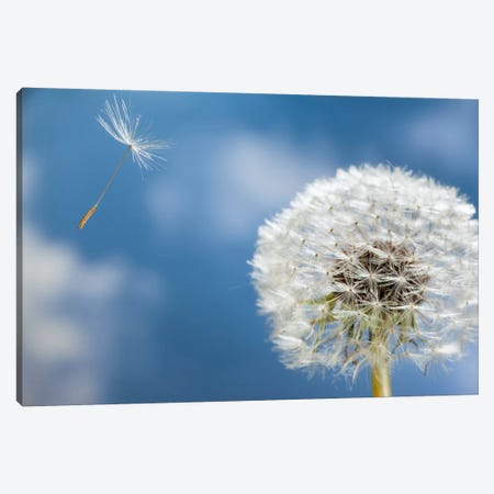 Dandelion Seed Being Dispersed By Wind, Oregon Canvas Print #DRM5} by Michael Durham Canvas Artwork