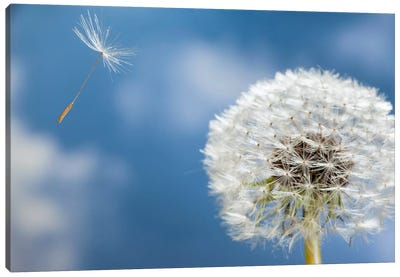 Dandelion Seed Being Dispersed By Wind, Oregon Canvas Art Print