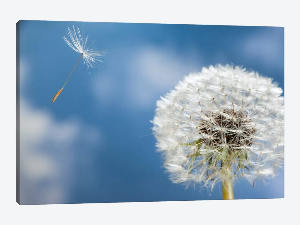 Dandelion Seed Being Dispersed By Wind, Oregon by Michael Durham 1-piece Canvas Art Print