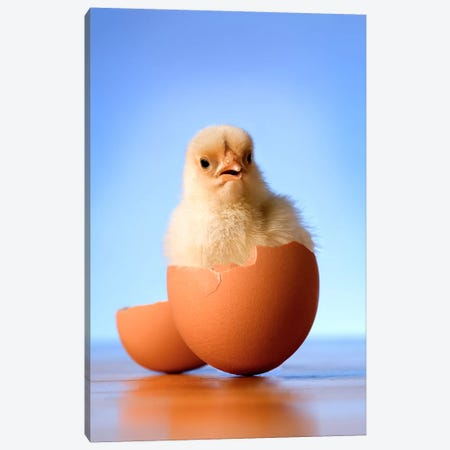 Domestic Chicken Hatchling In Egg Shell Canvas Print #DRM6} by Michael Durham Canvas Wall Art