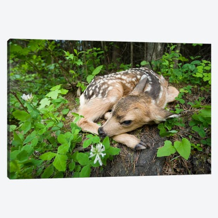 Mule Deer Newborn Fawn Hides In The Forest, Waiting For The Return Of Its Mother, Siuslaw National Forest, Oregon Canvas Print #DRM9} by Michael Durham Art Print