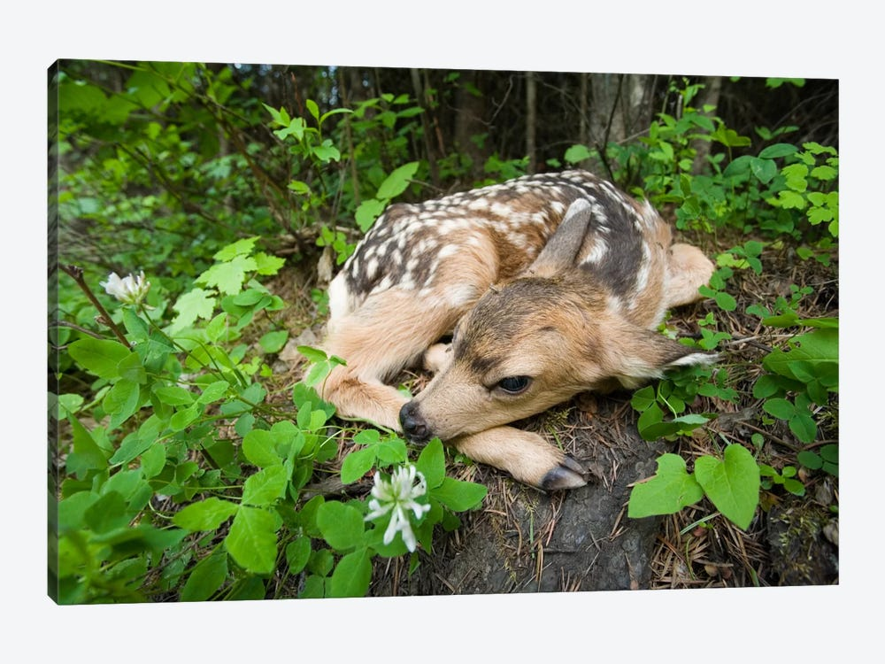 Mule Deer Newborn Fawn Hides In The Forest, Waiting For The Return Of Its Mother, Siuslaw National Forest, Oregon by Michael Durham 1-piece Canvas Art Print
