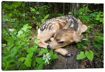 Mule Deer Newborn Fawn Hides In The Forest, Waiting For The Return Of Its Mother, Siuslaw National Forest, Oregon Canvas Art Print
