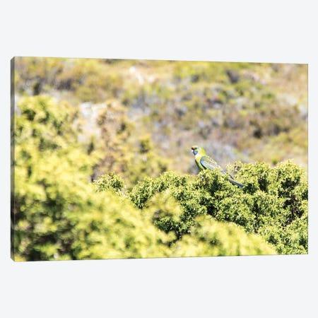 Australia, Tasmania, Cradle Mountain Lake Sinclair NP. Green Rosella in heath plants Canvas Print #DRU2} by Trish Drury Canvas Wall Art