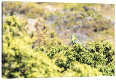 Australia, Tasmania, Cradle Mountain Lake Sinclair NP. Green Rosella in heath plants Canvas Art Print