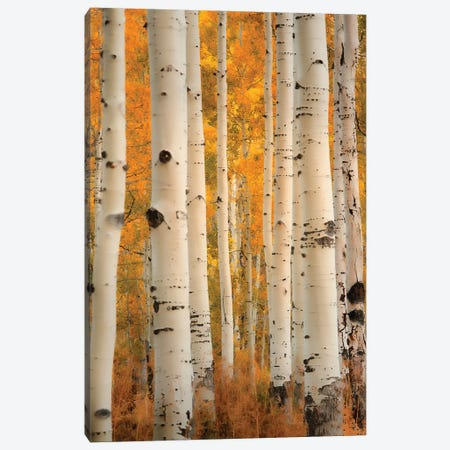 Aspens In Autumn Canvas Print #DSC109} by Don Schwartz Canvas Artwork