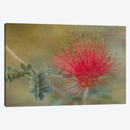 Baja Fairy Duster Canvas Print #DSC11} by Don Schwartz Canvas Wall Art