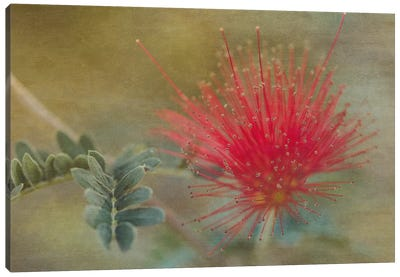 Baja Fairy Duster Canvas Art Print