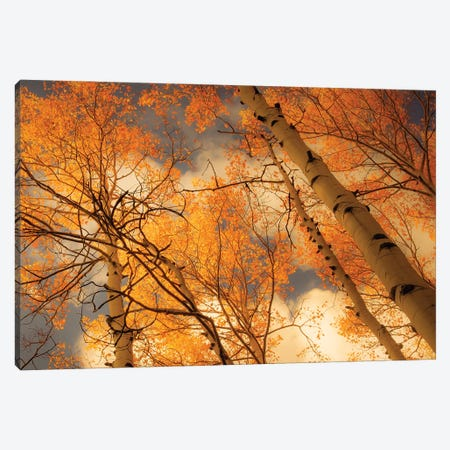 Towering Aspens Canvas Print #DSC124} by Don Schwartz Canvas Print