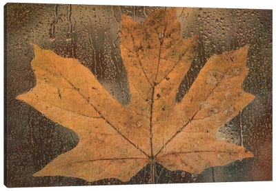 Maple Leaf In The Rain Canvas Print #DSC54