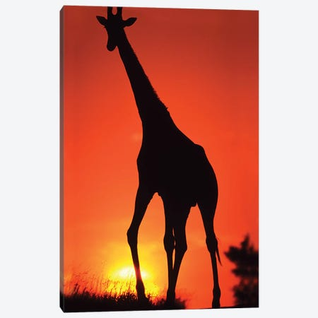 Giraffe Silhouetted At Sunset, South Africa, Kruger Np. Canvas Print #DSL1} by David Slater Art Print