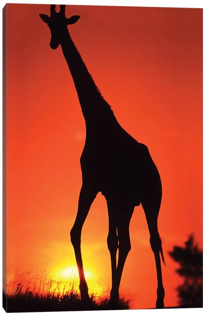 Giraffe Silhouetted At Sunset, South Africa, Kruger Np. Canvas Art Print