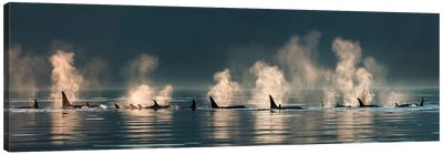 A group of Orcas come to the surface on a calm day in Lynn Canal, Inside Passage, Alaska, near Juneau. Canvas Art Print