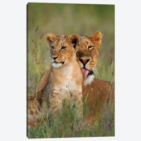 Lioness Licking Cub Clean At Dusk, Ol Pejeta Conservancy, Kenya Canvas Print #DSN1} by Design Pics Canvas Art Print