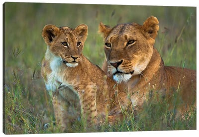 Lioness With Cub At Dusk, Ol Pejeta Conservancy, Kenya Canvas Art Print