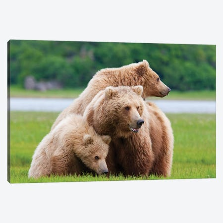 Coastal Brown Bear Sow With Her Two Spring Cubs At Hallo Bay, Katmai National Park, Alaska Canvas Print #DSN3} by Design Pics Canvas Art Print