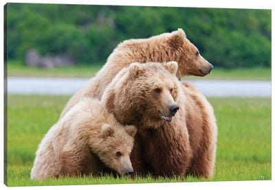 Coastal Brown Bear Sow With Her Two Spring Cubs At Hallo Bay, Katmai National Park, Alaska Canvas Art Print