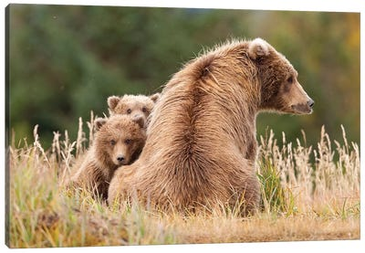 Coastal Grizzly Sow With Her Spring Cubs At Hallo Bay, Katmai National Park, Alaska Canvas Art Print