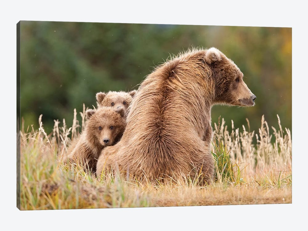 Coastal Grizzly Sow With Her Spring Cubs At Hallo Bay, Katmai National Park, Alaska by Design Pics 1-piece Canvas Artwork