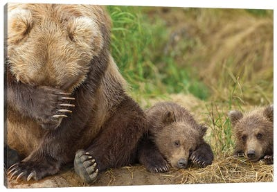 A Brown Bear Mother And Her Cubs Resting On The Bank Of Grizzly Creek In Katmai National Park, Southwest Alaska, Summer Canvas Art Print