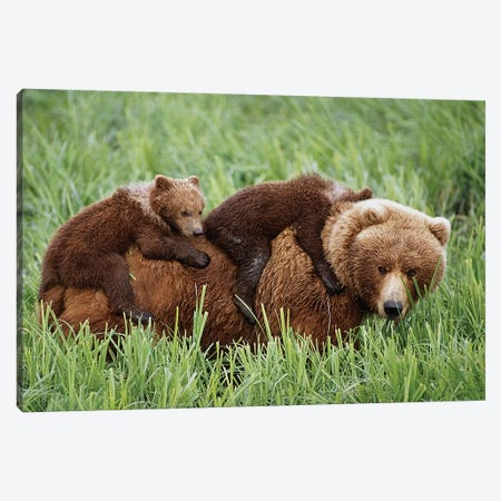 Grizzly Cubs Ride On Top Of Their Mother As She Walking Through Grass Near Mcneil River. Summer In Southwest Alaska. Canvas Print #DSN6} by Design Pics Canvas Artwork