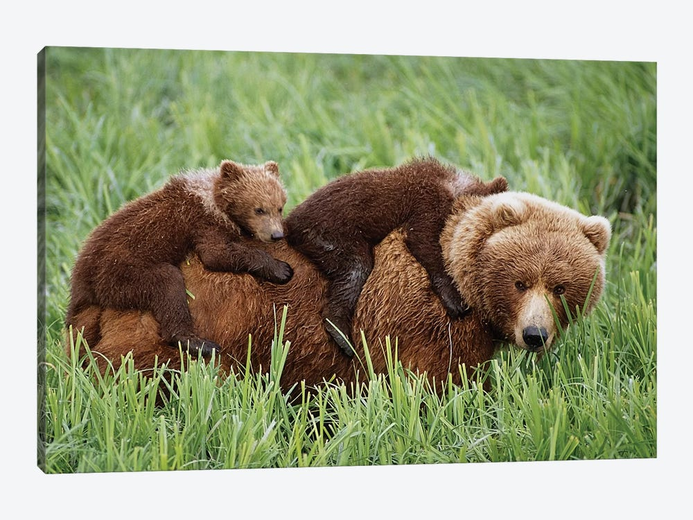 Grizzly Cubs Ride On Top Of Their Mother As She Walking Through Grass Near Mcneil River. Summer In Southwest Alaska. by Design Pics 1-piece Canvas Art