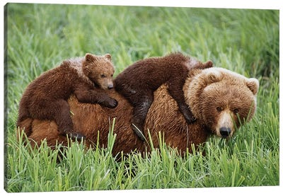 Grizzly Cubs Ride On Top Of Their Mother As She Walking Through Grass Near Mcneil River. Summer In Southwest Alaska. Canvas Art Print