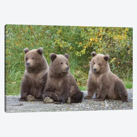 Brown Bear Triplet Spring Cubs, Katmai National Park, Alaska. Canvas Print #DSN7} by Design Pics Canvas Artwork