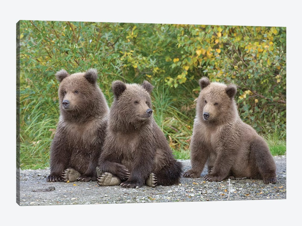 Brown Bear Triplet Spring Cubs, Katmai National Park, Alaska. by Design Pics 1-piece Canvas Print