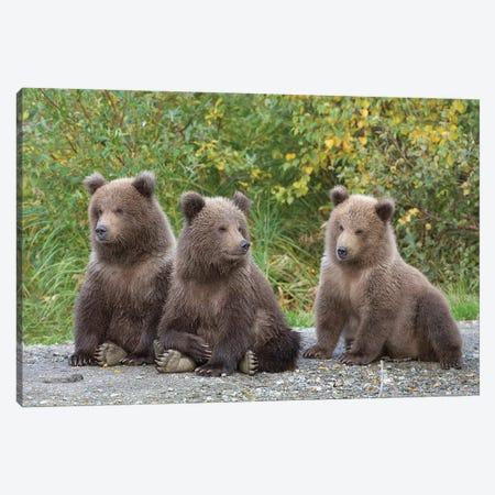 Brown Bear Triplet Spring Cubs, Katmai National Park, Alaska. Canvas Print #DSN7} by Design Pics Canvas Artwork
