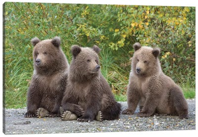 Brown Bear Triplet Spring Cubs, Katmai National Park, Alaska. Canvas Art Print