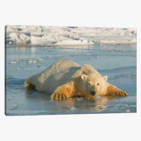 Polar Bear Cub Sprawled Out Over Thin Newly Forming Pack Ice, Beaufort Sea, Arctic National Wildlife Refuge, North Slope, Alaska Canvas Print #DSN8} by Design Pics Canvas Art Print