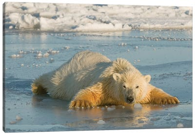 Polar Bear Cub Sprawled Out Over Thin Newly Forming Pack Ice, Beaufort Sea, Arctic National Wildlife Refuge, North Slope, Alaska Canvas Art Print
