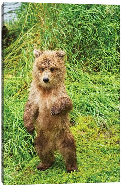 Brown Bear Cubs Standing Upright On A Grassy Bank Of Brooks River, Katmai National Park And Preserve, Southwest Alaska Canvas Art Print