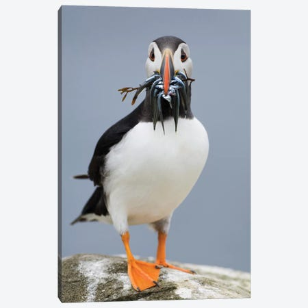 Atlantic Puffin With Sandeels And Seaweed In Beak, Farne Islands, Northumberland, England Canvas Print #DTI1} by David Tipling Art Print