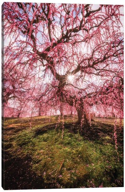 Spring In Japan XXX Canvas Art Print