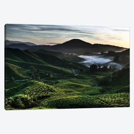 Tea Plantation At Dawn Canvas Print #DVB88} by Dave Bowman Canvas Artwork