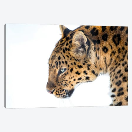 Big Cat Canvas Print #DVG12} by David Gardiner Canvas Wall Art