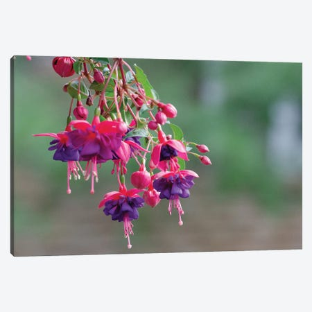 Hanging Beauty Canvas Print #DVG191} by David Gardiner Canvas Art