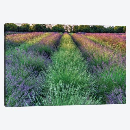 Lavender Farm Canvas Print #DVG195} by David Gardiner Canvas Print