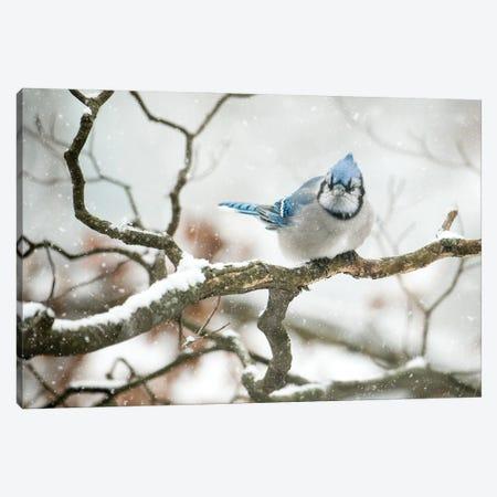 Cold Jay Canvas Print #DVG19} by David Gardiner Canvas Art