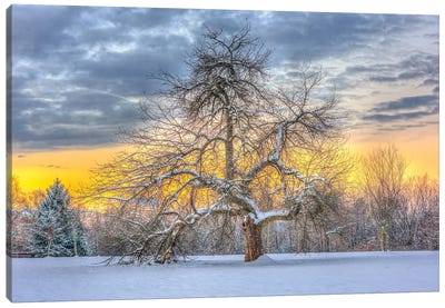 Apple Tree Winter Canvas Art Print