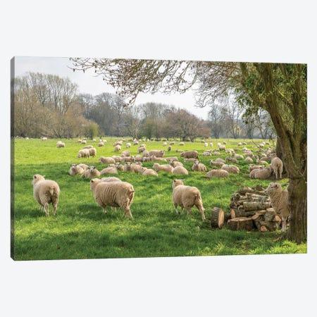 Salisbury Sheep 3-Piece Canvas #DVG266} by David Gardiner Art Print