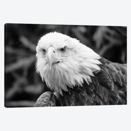 Eager Eagle 3-Piece Canvas #DVG26} by David Gardiner Canvas Wall Art