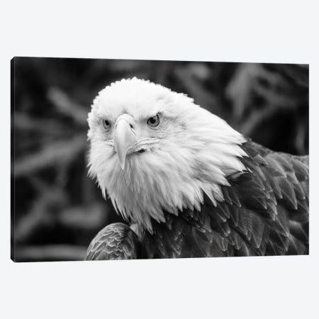 Eager Eagle Canvas Print #DVG26} by David Gardiner Canvas Wall Art