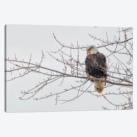 Eagle Perch II Canvas Print #DVG29} by David Gardiner Canvas Art Print
